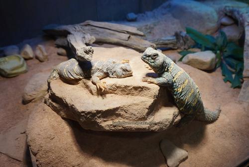 Ak lizards bis