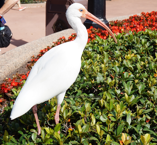 White ibis at epcot bis