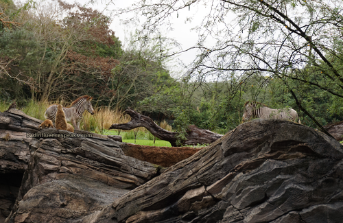 Ak zebra and meerkat bis