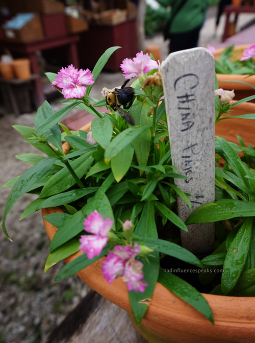 Cw china pink bee bis