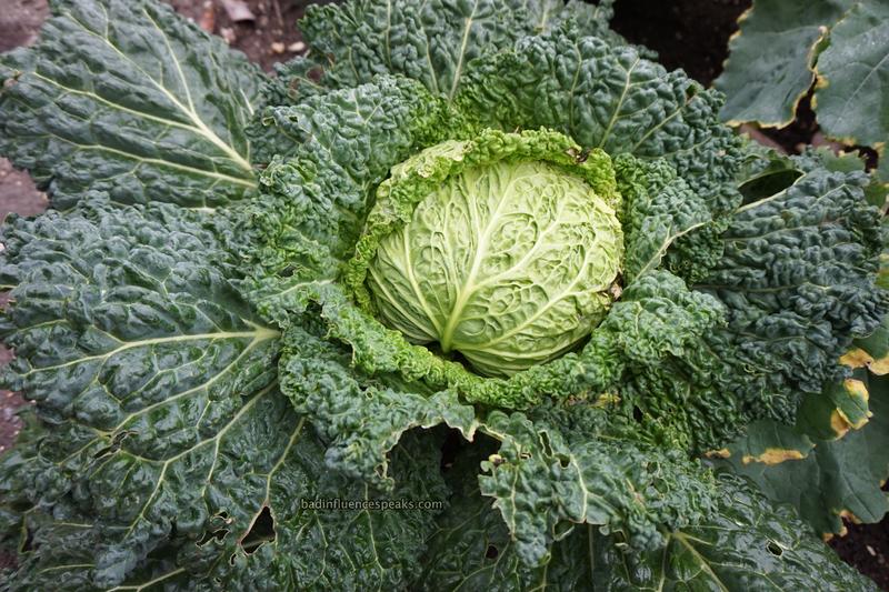 Cw big cabbage bis